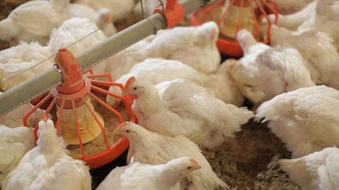 Бройлеры: выращивание в домашних условиях, условия содержания, корм, болезни