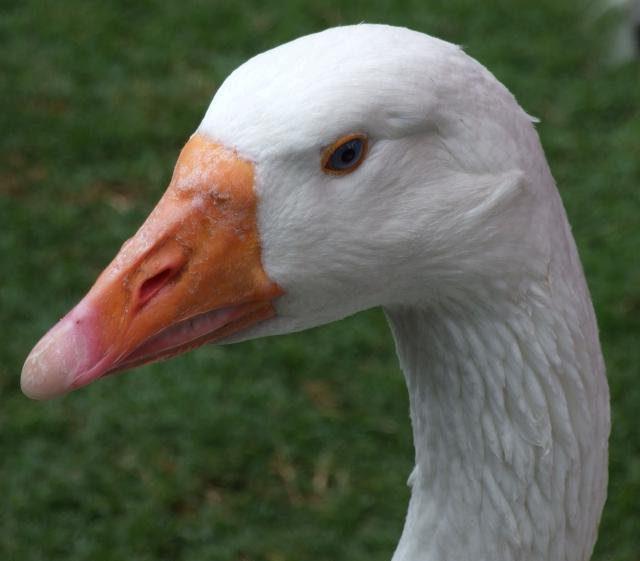 Порода гусей линда: описание, содержание, разведение