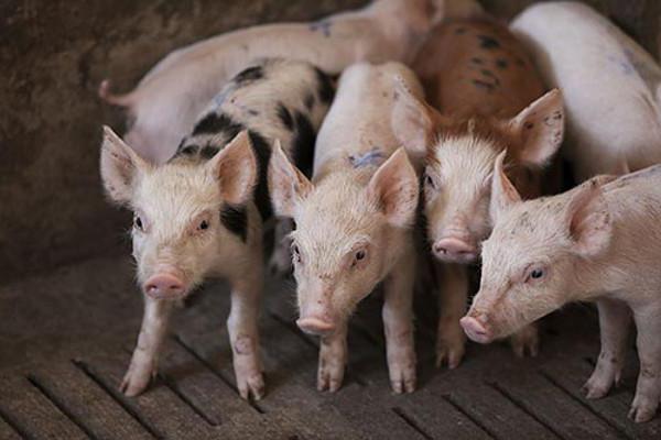 свиноводство в россии