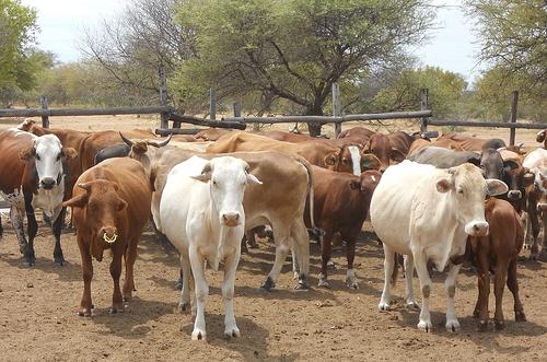 производство говядины