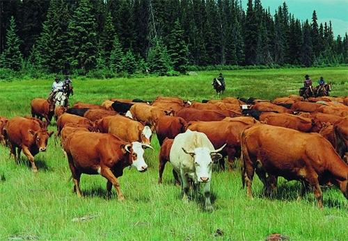 бизнес план разведение быков