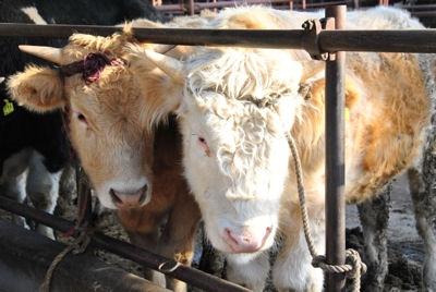 разведение быков в домашних условиях