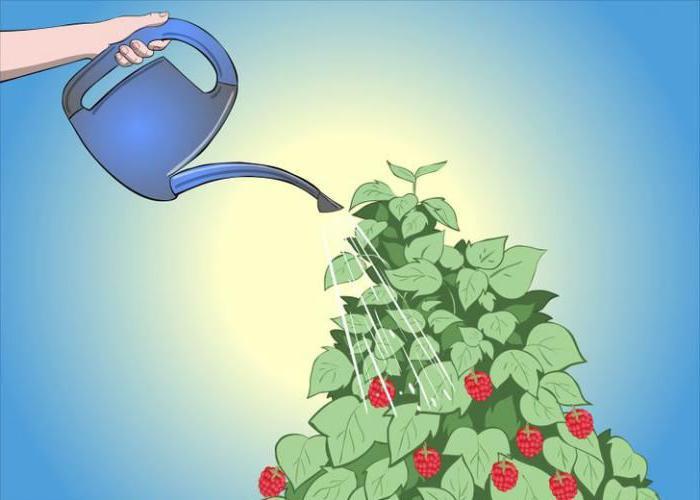 ремонтантная малина выращивание