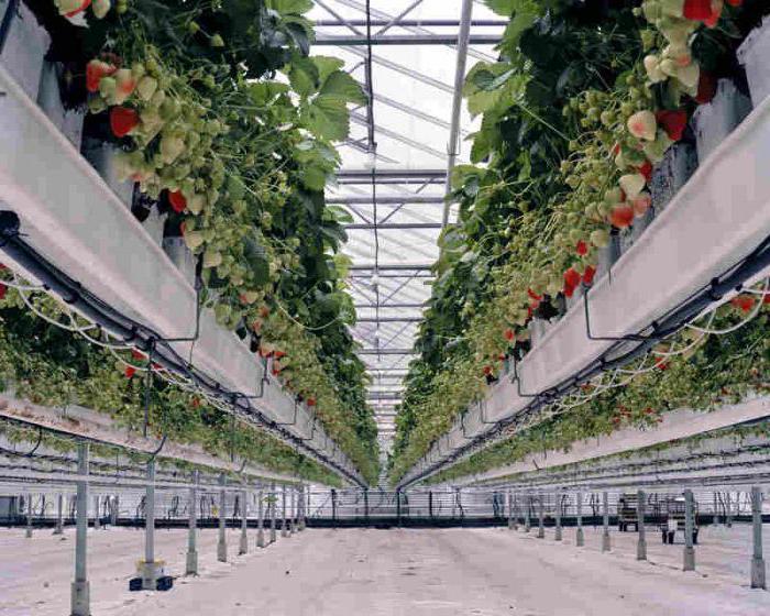 Выращивание клубники промышленным способом