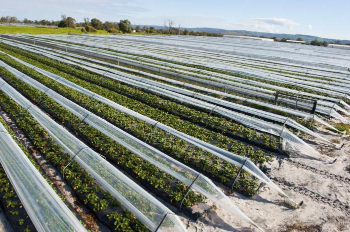 Промышленное выращивание клубники в открытом грунте