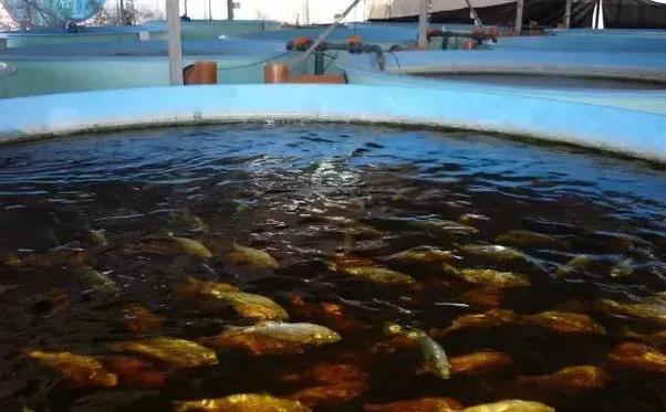 Выращивание рыбы в бассейнах