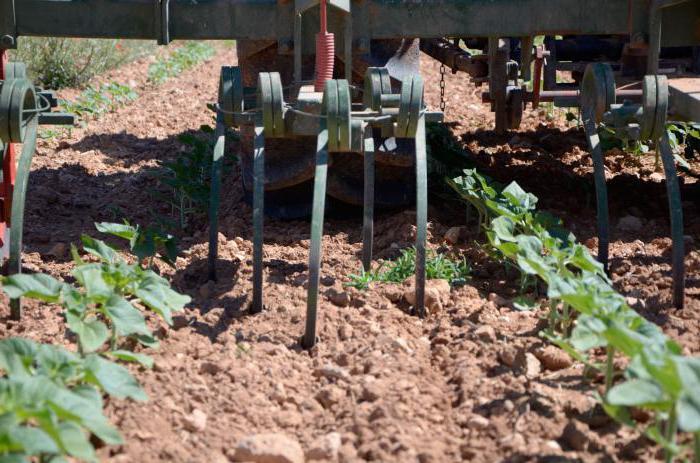 Технология выращивания подсолнечника