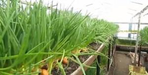 Бизнес план по выращиванию зелени