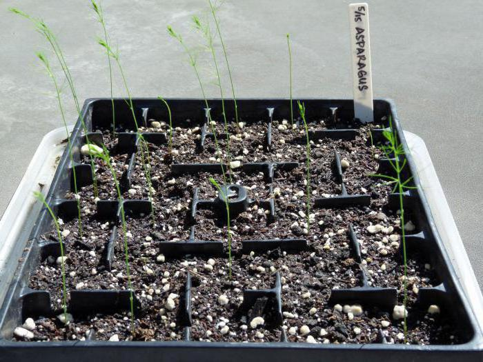 Спаржа: выращивание, посадка из семян, уход в домашних условиях и фото