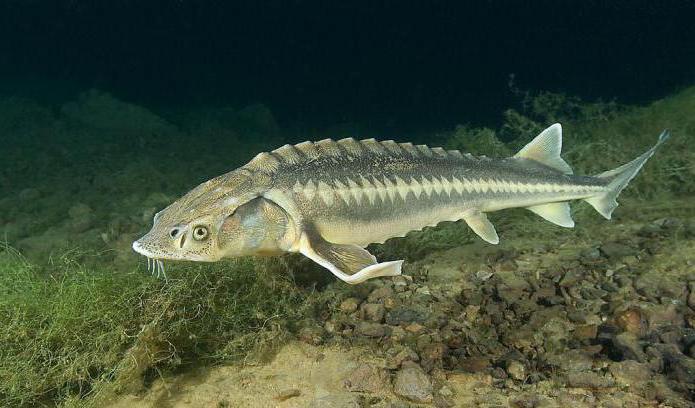 осетр хищная рыба или нет