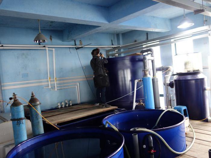 Разведение осетра в домашних условиях как бизнес: технология, оборудование и отзывы