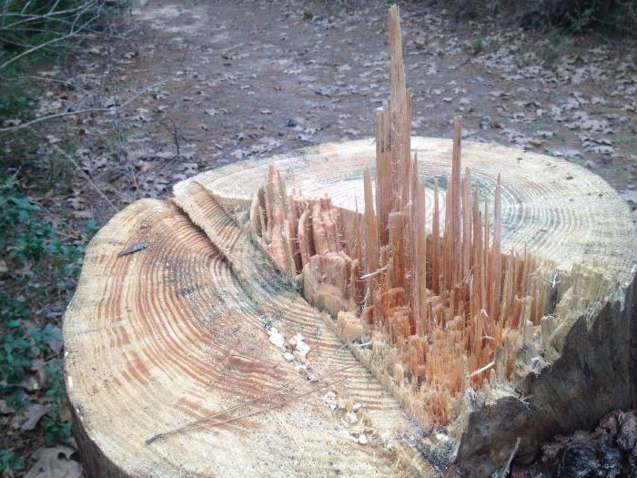 штраф за вырубку дерева в городе