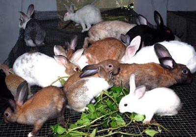 Кроличья ферма как бизнес