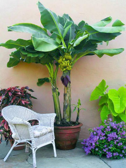 как вырастить в домашних условиях банан