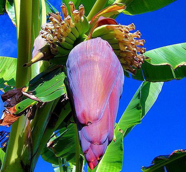 можно ли вырастить банан в домашних условиях