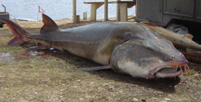 Виды осетровых рыб: описание представителей и различия