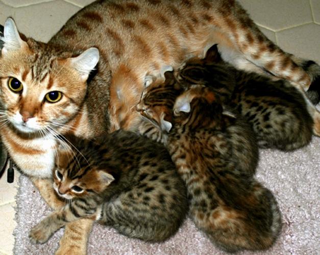 как удачно открыть питомник кошек