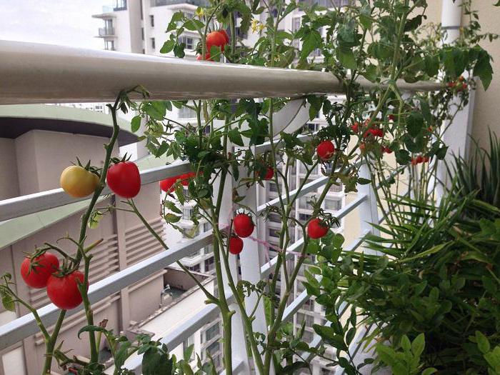 Что можно выращивать дома? Огород на балконе
