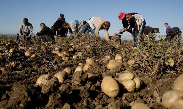 Как проводится закупка картофеля у населения? Плюсы, минусы, особенности оформления