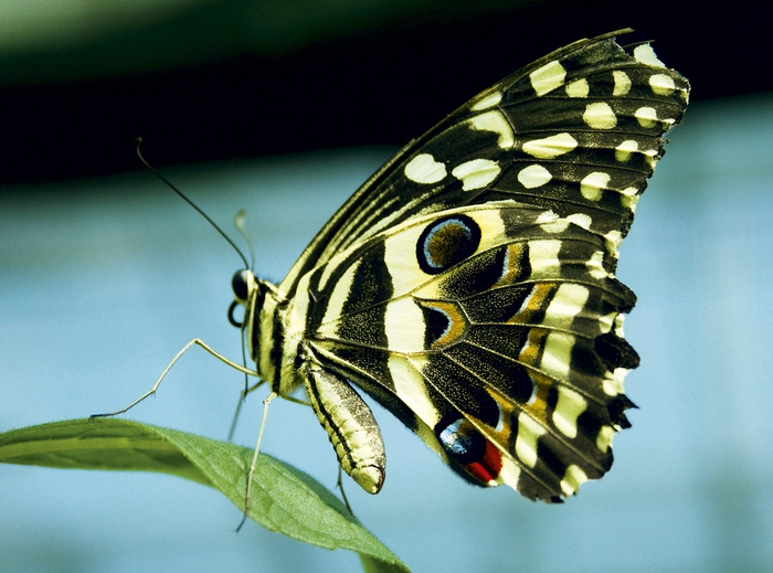 как разводить бабочек в домашних условиях