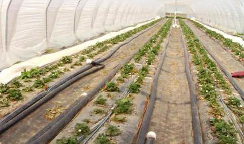 Технология промышленного выращивания клубники