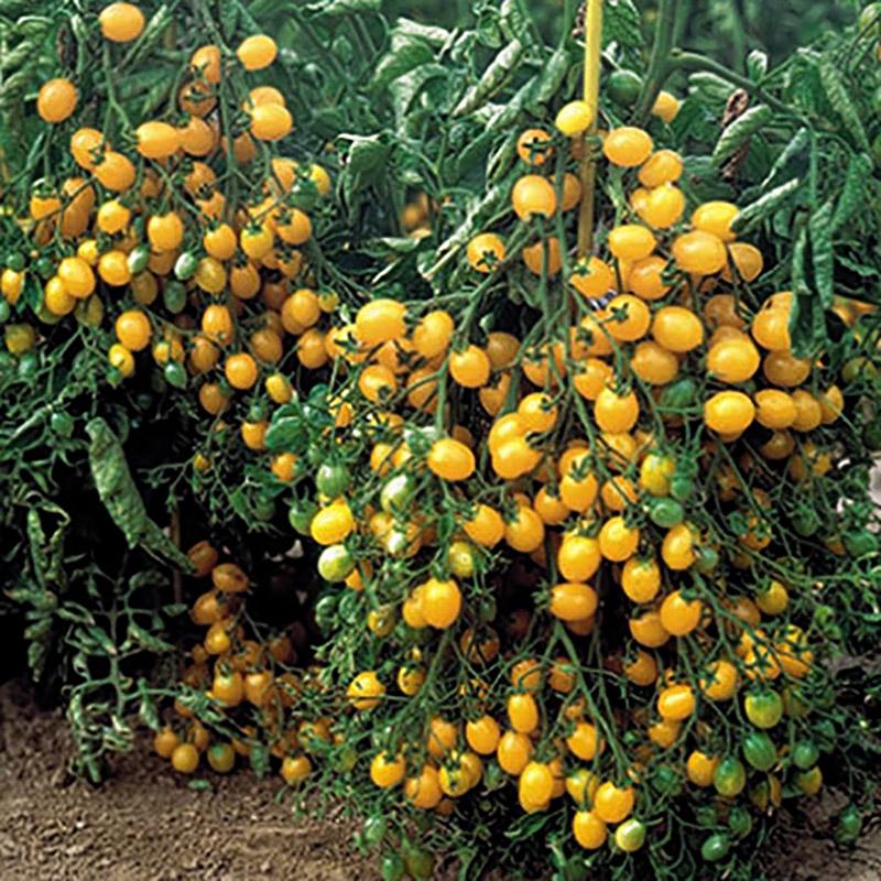 что ильди томат отзывы фото смогли